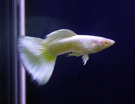 Gambar Ikan Guppy Platinum