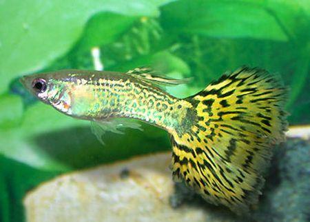 Gambar Ikan Guppy Snakeskin