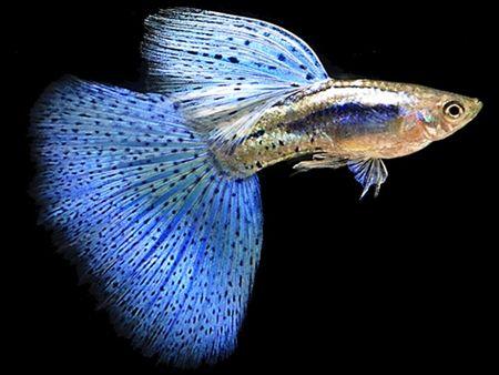 Gambar Ikan Guppy Triangle-tail