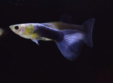 Gambar Ikan Guppy Tuxedo