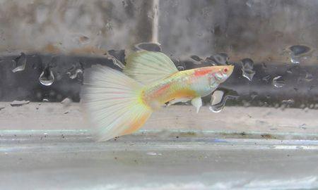 Gambar Ikan Guppy albino