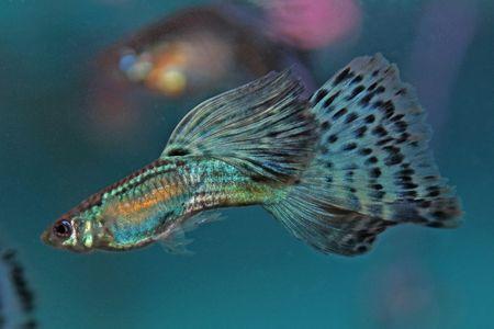 Gambar Ikan Guppy bicolor