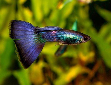 Gambar Ikan Guppy biru