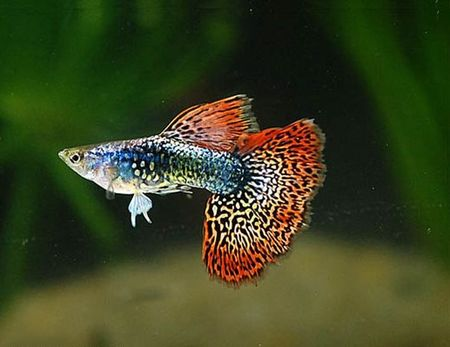 Gambar Ikan Guppy flag-tail