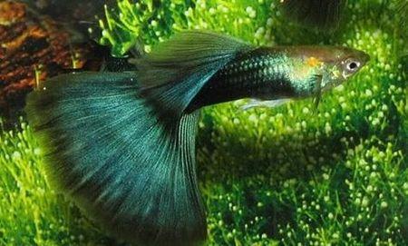 Gambar Ikan Guppy hijau hb