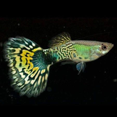 Gambar Ikan Guppy hijau