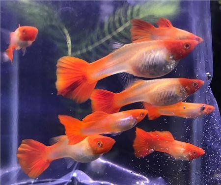 Gambar Ikan Guppy koi