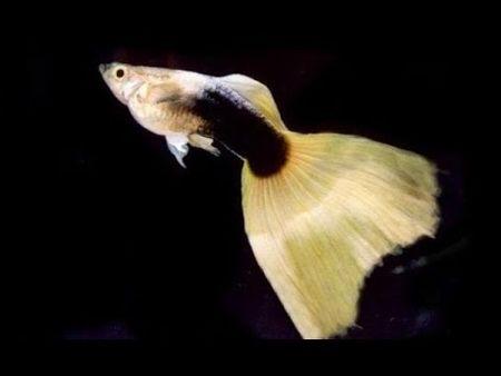 Gambar Ikan Guppy kuning hb