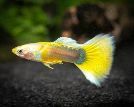 Gambar Ikan Guppy kuning
