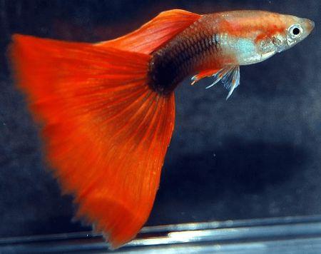 Gambar Ikan Guppy merah hb