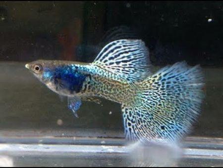 Gambar Ikan Guppy metal