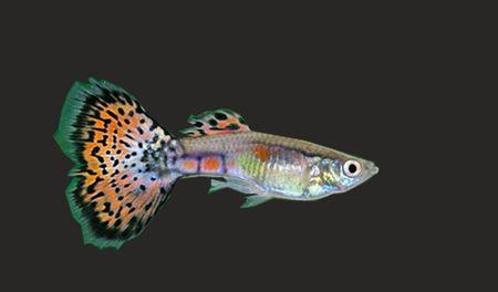 Gambar Ikan Guppy multicolor
