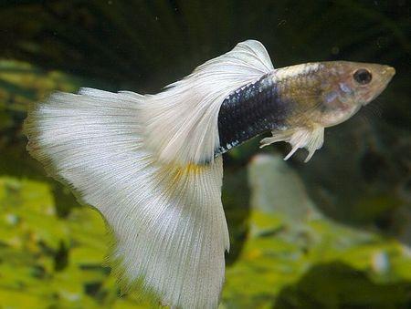 Gambar Ikan Guppy pastel hb