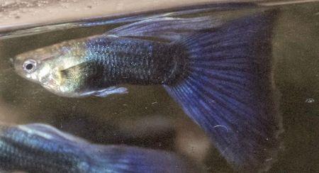 Gambar Ikan Guppy ungu hb