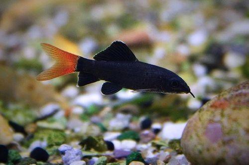 Ikan Hias Ekor Merah