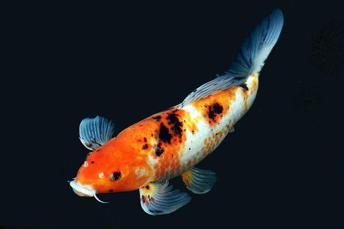 Ikan Koi Warna Mahal