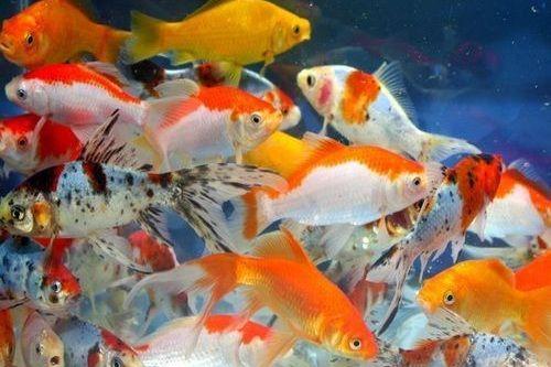 5 Cara Merawat Ikan Mas Koki Agar Tak Mudah Mati Gerava Ikan Hias Burung Kicau Kucing Anjing
