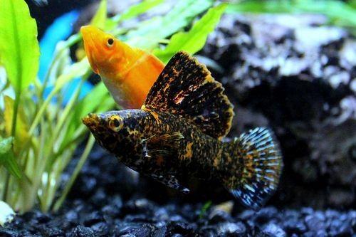 Ikan Moli