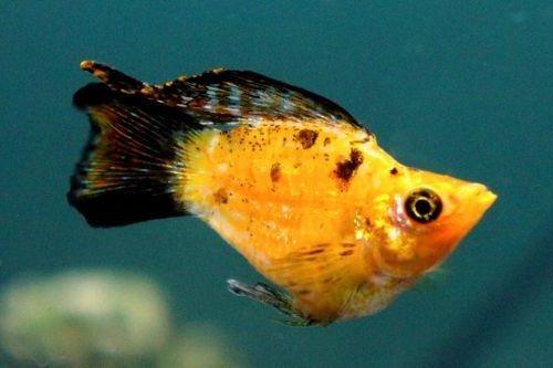 Ikan Molly gemuk