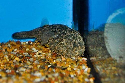 Ikan Pignose Puffer