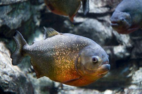 Piranha perut merah