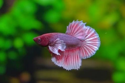 Ikan hias betta