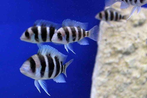 Ikan frontosa siklid