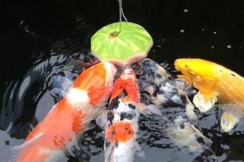 Ikan koi makan