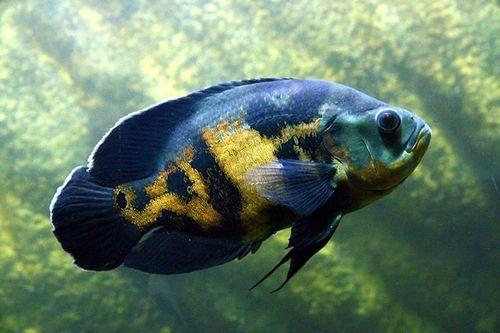 Ikan oscar besar