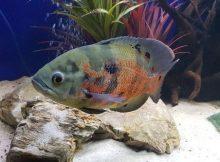 Ikan oscar cantik