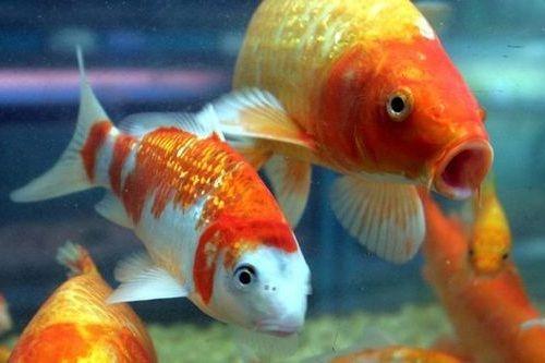 Ikan sering mati
