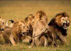 Jenis Singa