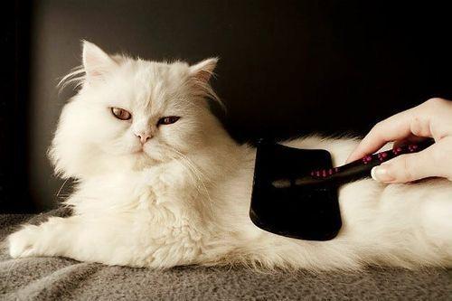 Kebutuhan kucing Persia