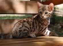 Kucing Bengal lucu