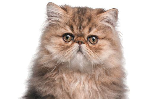 Kucing Persia oranye