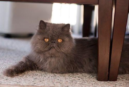 Kucing Persia termahal