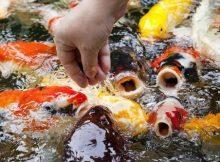 Memberi makan ikan koi