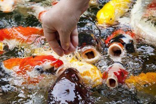 Apa Saja Makanan Ikan Koi Ini Daftar Lengkapnya Gerava Ikan
