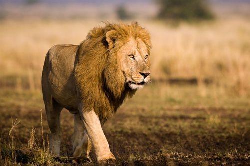 Singa Afrika Barat