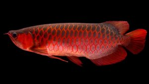 Cara Merawat Ikan Maru Emperor Snakehead Atau Channa Marulioides Gerava Ikan Hias Burung Kicau Kucing Anjing