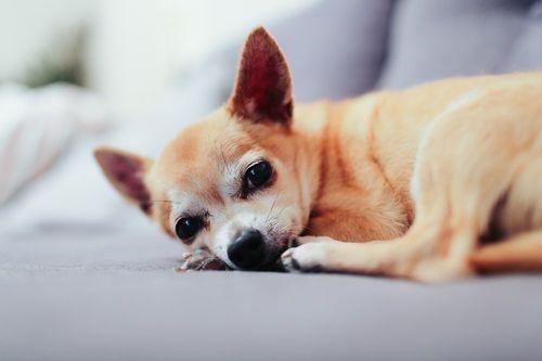 Chihuahua Lucu