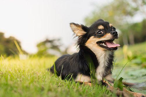 Foto Anjing Chihuahua
