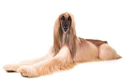 Gambar Anjing Afghan Hound Lucu