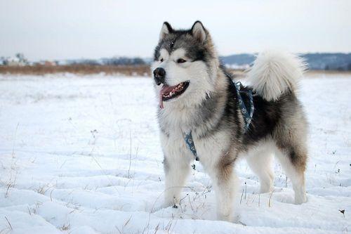 Gambar Anjing Alaskan Malamute Lucu