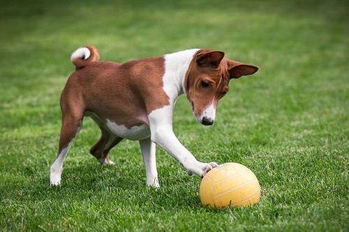 Gambar Anjing Basenji Lucu