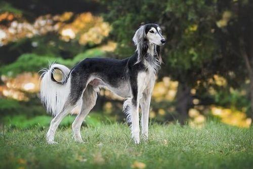 Gambar Anjing Saluki Lucu