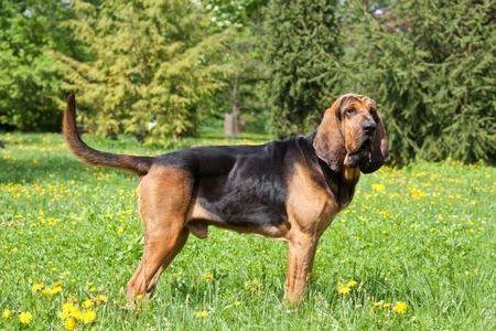 Gambar Bloodhound