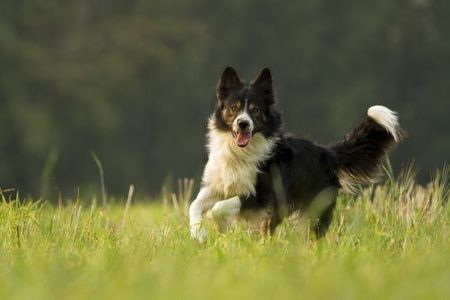 Gambar Border Collie