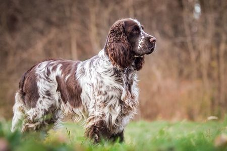 Gambar English Springer Spaniel