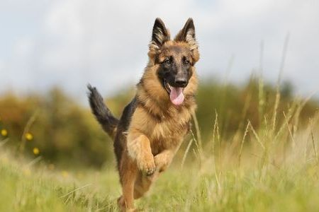 Gambar German Shepherd